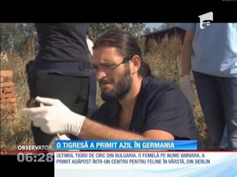 Ultimul tigru de circ din Bulgaria a fost eliberat