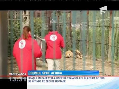 Cinci lei de la grădina zoologică din Baia Mare au fost transferaţi în Africa de Sud