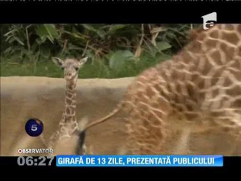 Girafă de numai 13 zile, prezentată publicului