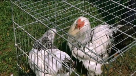 Sebastian Koszilkov arată juriului de la Ham Talent găinile din rasa Brahma