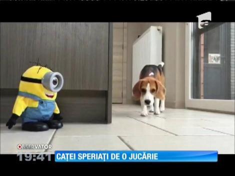 Doi căței Beagle și jucăria Minion, vedete pe internet
