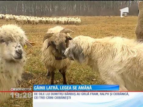După revolta ciobanilor, Dacian Cioloş permite oilor să pască în voie şi în această iarnă