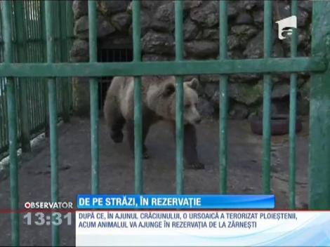 Ursoaica care a terorizat ploieştenii ajunge la rezervaţia de la Zărneşti