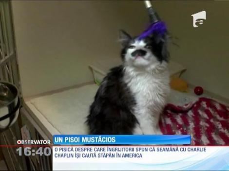 Pisica care seamănă cu Charlie Chaplin își caută stăpân