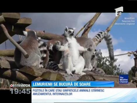 Cum se bucură lemurienii de soare