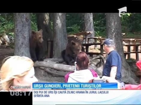 Urșii gunoieri de lângă lacul Sfânta Ana, prietenii turiștilor