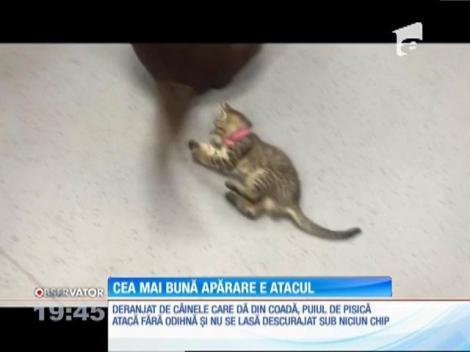Cea mai bună apărare e atacul pentru un pui de pisică