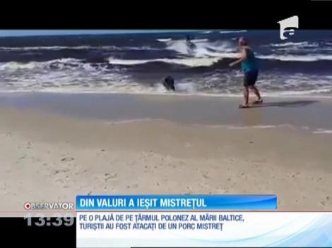 Un porc mistreţ ieşit din mare a speriat turiştii de pe o plajă din Polonia