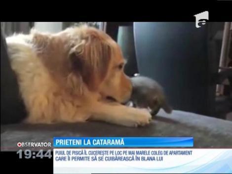 Un pui de pisică şi un labrador, prieteni la cataramă