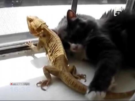 O pisică şi o şopârlă, prietenie neobişnuită