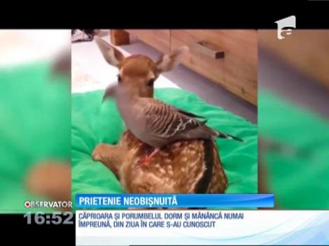 Un pui de căprioară orfan și un porumbel, prietenie neobișnuită