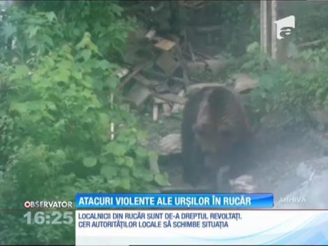 Atacuri tot mai violente ale urşilor în localitatea Rucăr, Argeş