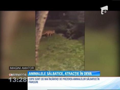 O vulpe, un vizitator special al Parcului cetăţii din Deva