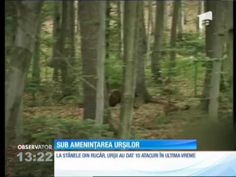 Ciobanii din Rucăr, sub amenințarea urșilor