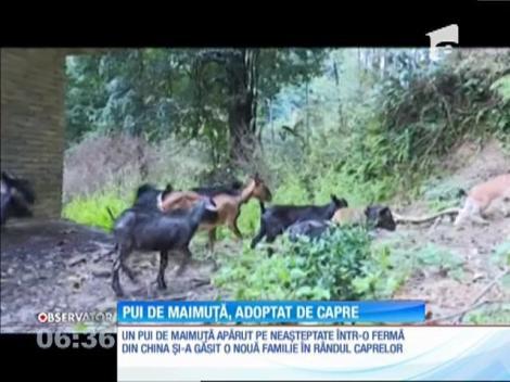Un pui de maimuţă şi-a găsit o nouă familie în rândul caprelor