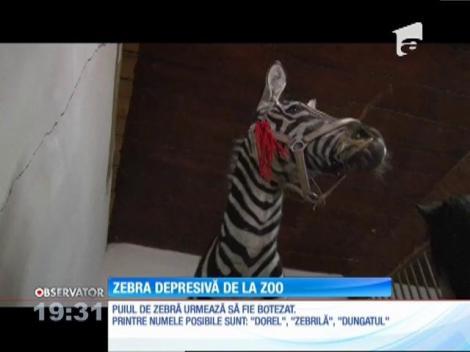 O zebră este noul locatar al Grădinii Zoologice din Bucov, dar are probleme de acomodare. Ca să nu mai stea singur, îngrijitorii i-au adus un ponei, pe care l-au colorat în alb şi negru