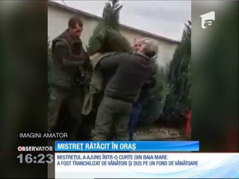 Un mistreț s-a rătăcit în curtea unor oameni din Baia Mare