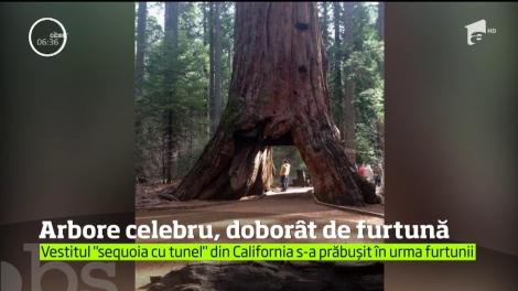 Cel mai cunoscut copac din SUA a fost doborât de o furtună