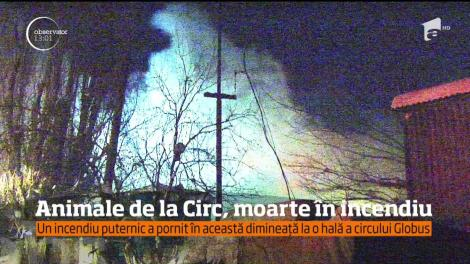 Un incendiu puternic a ars o hală al circului Globus. 11 animale au decedat