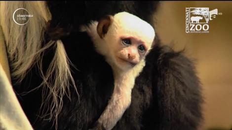 VIDEO! Mica maimuță care a cucerit pe loc inimile internauților: are ochi albaștri și blana de culoare albă!