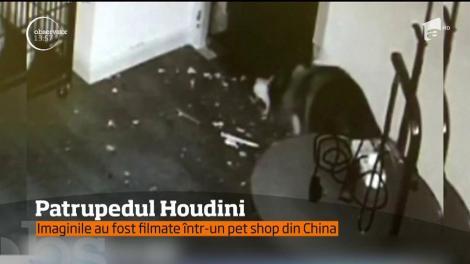 Patrupedul Houdini. Un câine reuşeşte să se elibereze din cuşca în care era ţinut prizonier