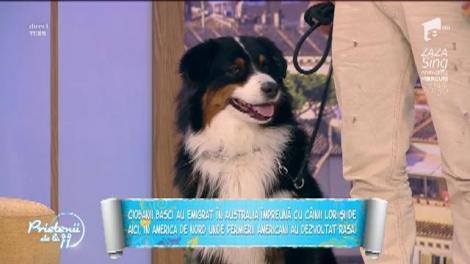 """""""Ciobănesc australian"""", cea mai inteligentă rasă de câini"""