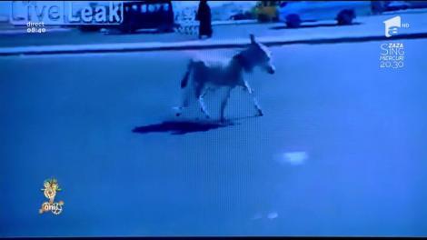 """Smiley News. Run, Forest, run! Un măgăruş fugăreşte maşinile pe o """"autostradă"""""""
