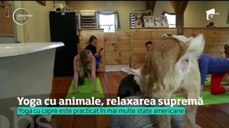 """Yoga cu ajutorul caprelor, sportul care a cucerit America. Rumegătoarele sunt puse la loc de cinste: """"Nu sunt forţate să facă nimic din ce nu vor"""""""