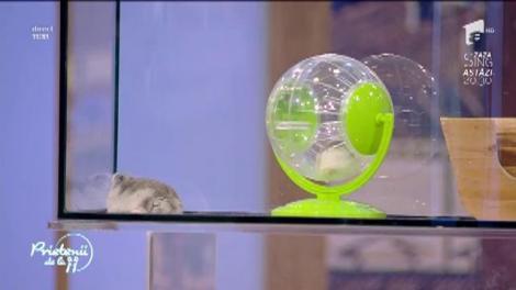 Animale de companie: Tot ce trebuie să ştii despre hamsteri