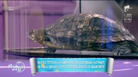 Animale de companie: Tot ce trebuie să ştii despre broasca ţestoasă cu tâmple roşii