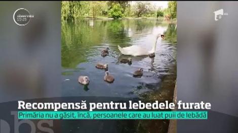 Primăria oferă recompensă pentru puii de lebădă furaţi dintr-unul parc din Capitală