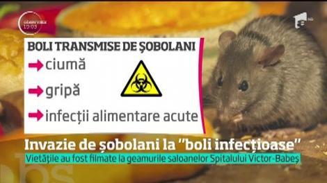 Invazie de șobolani la Spitalului de Boli Infecţioase Victor-Babeş din Capitală!