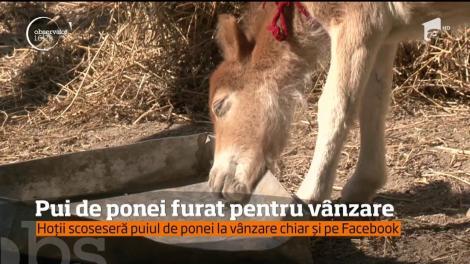 Un pui de ponei a fost furat şi scos la vânzare pe Facebook