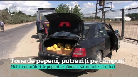 Disperare la Dăbuleni! Zeci de tone de pepeni au ajuns să putrezească la soare
