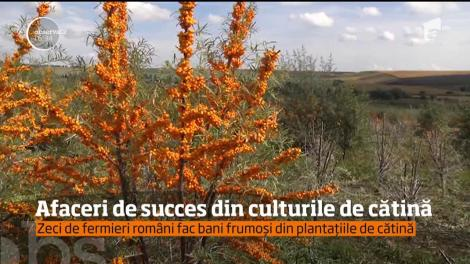 Afaceri de succes din culturile de cătină