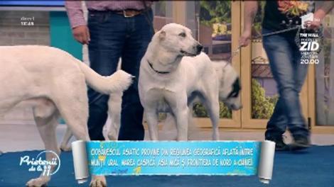 Ciobănescul asiatic, un câine impresionant. Iată ce ar trebui să știi înainte să-l aduci acasă