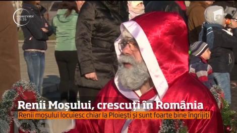 Doi dintre renii lui Moş Crăciun s-au mutat la Ploieşti!