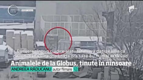 Imagini revoltătoare! Animalele de la Circului Globus din Capitală, ținute în ninsoare. Leii au îndurat un ger cumplit!