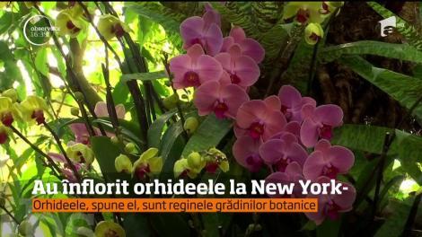 Au înflorit orhideele la New York