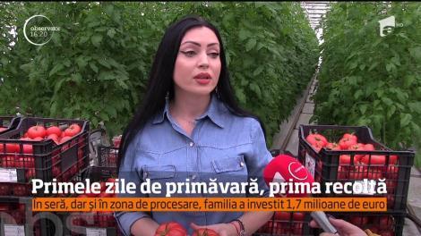 Prima recoltă de roşii româneşti