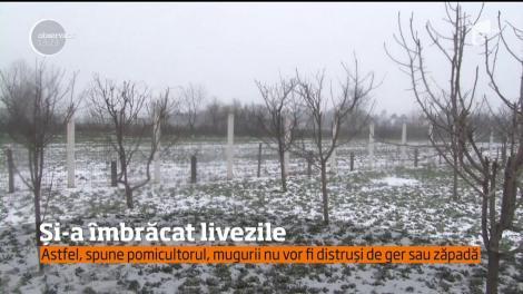 Un pomicultor din Dâmboviţa și-a îmbrăcat copacii, din cauza gerului