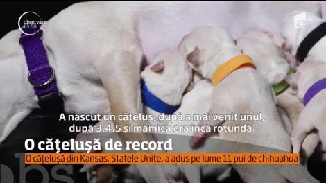 O căţeluşă Chihuahua din Statele Unite merită o medalie de aur pentru merite deosebite ca mamă. A născut 11 pui