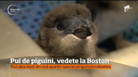 Patru pui de pinguin, vedete la Boston