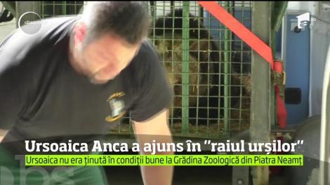 După 24 de ani de captivitate, ursoaica Anca a ajuns în rezervaţia naturală de la Zărneşti