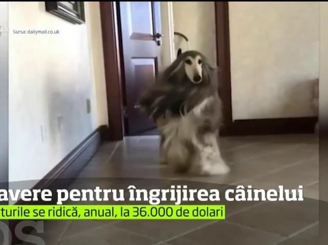 Cel mai îngrijit câine din lume, un ogar afgan pe nume Battle, îl costă pe stăpânul său zeci de mii de dolari