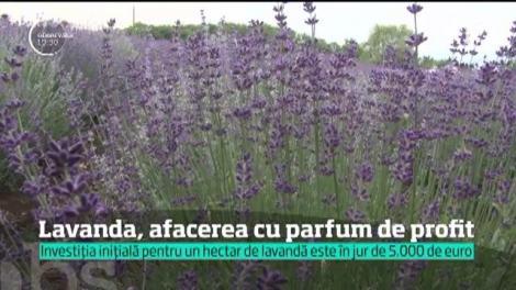 Lavanda, afacerea cu parfum de profit. Investiția inițială pentru un hectar de lavandă este în jur de 5.000 de euro