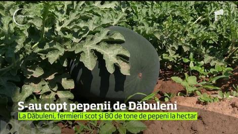 Primii pepeni româneştii s-au copt deja. Unde altundeva decât la Dăbuleni, în judeţul Dolj