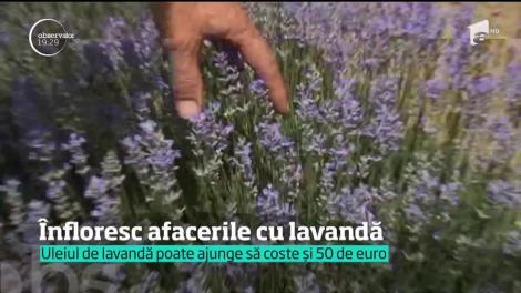 Înfloresc afacerile cu lavandă în România