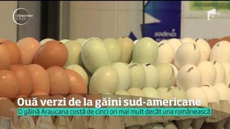 Au apărut ouăle verzi-albăstrui. Provin de la găinile Araucana, o specie din America de Sud