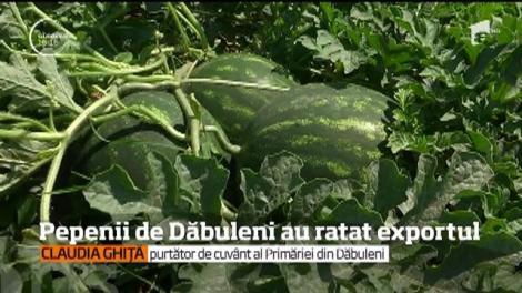 Pepenii de Băbuleni au ratat exportul. În lipsa unei cooperative, pepenii nu pot fi livrați în cantități mari